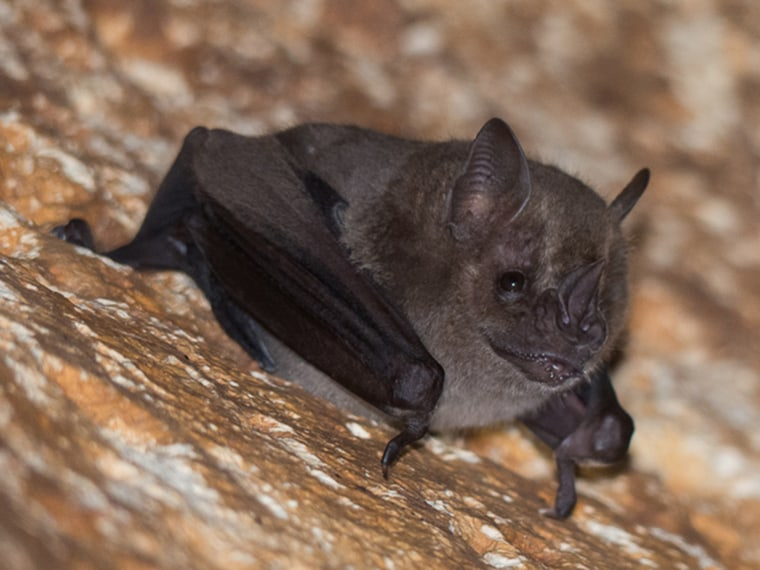 Image: A photo of a bat provided by Vladimir Dinets of the University of Tennessee