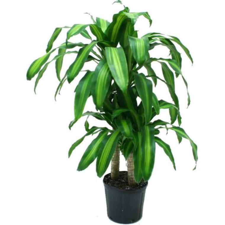 Delray Plants Mass Cane