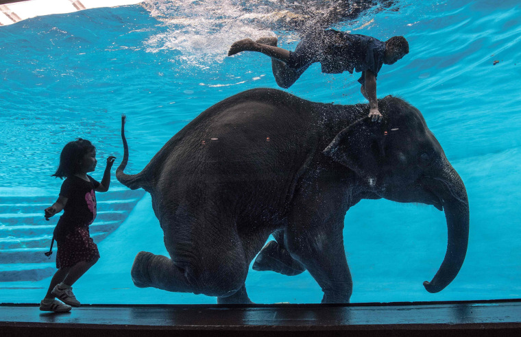 Image: A girl watches an eight-year-old female Asian elephant