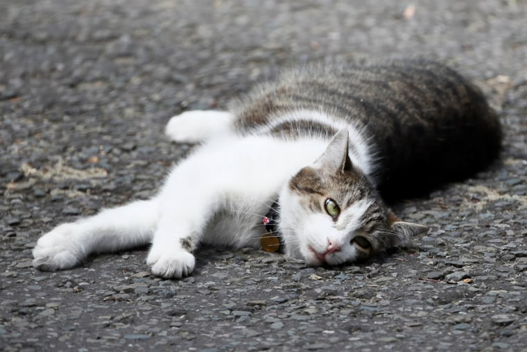 Image: Larry the 10 Downing Street cat, a brown and white tabby, lays in the road in Downing Street, in central London