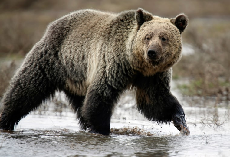 Image: A grizzly bear roams through the Hayden Valley in Yellowstone National Park in Wyoming
