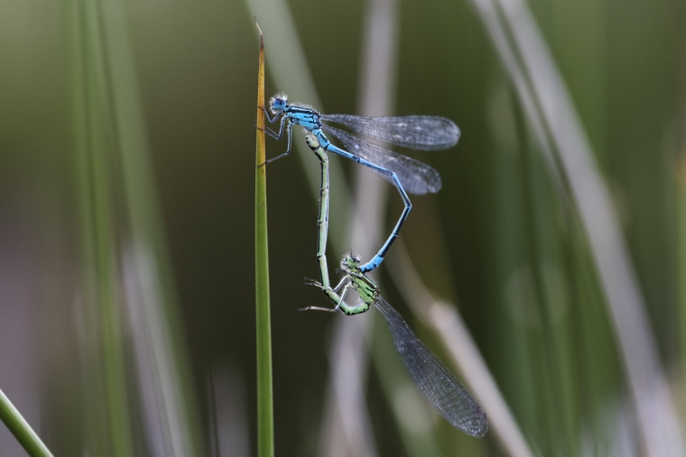 Image: Damselflies mate near a pond