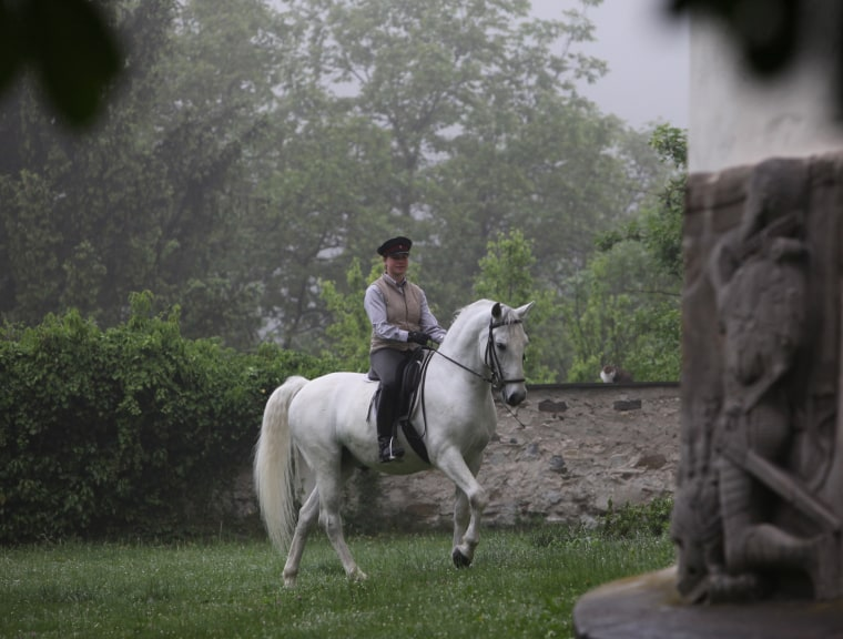 Image: A person riding a Lipizzan stallion