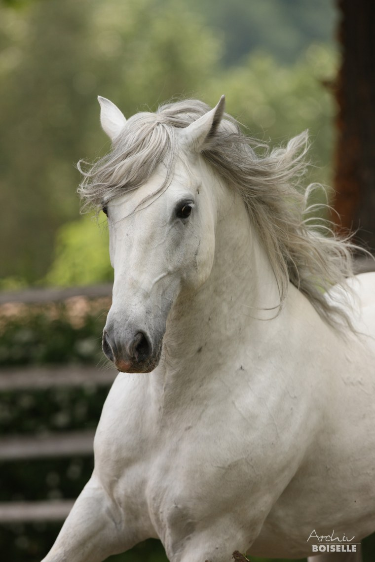 Image: A Lipizzan stallion named Conversano Sessana
