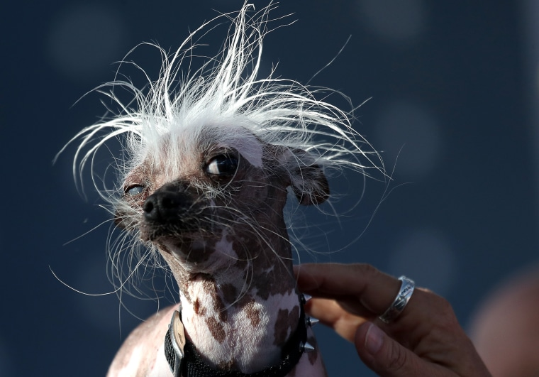 Image: A Chinese Crested dog named Rascal