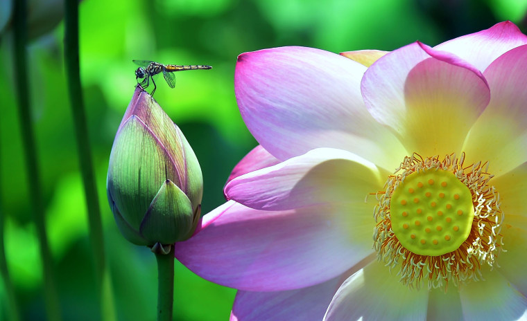 Image: A dragonfly lands on a lotus flower bud in Echo Park Lake in Los Angeles