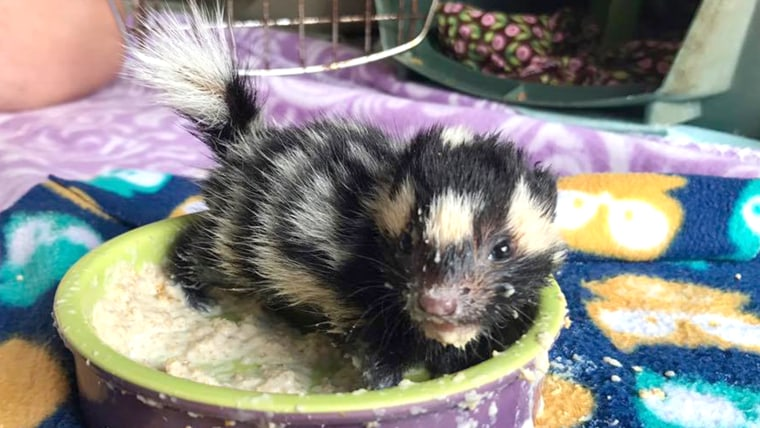Orphaned baby spotted skunks