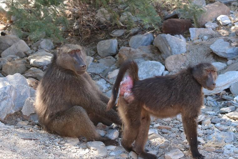 Image: Baboons