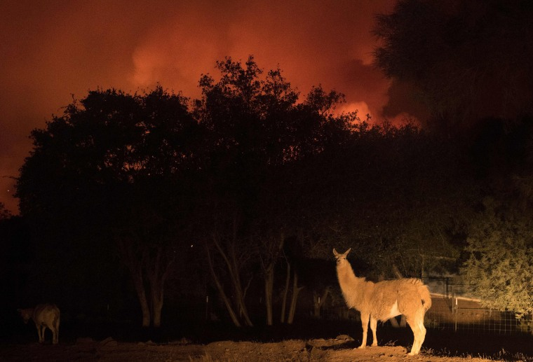 Image: An animal stands on a property as impending flames close in on a residential area in Oroville