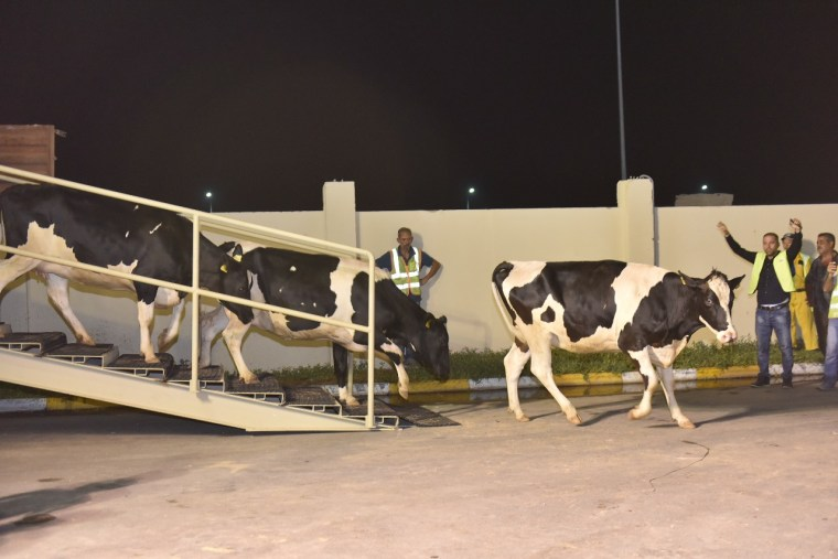 Workers look on as cows imported from Europe arrive at the Baladna farm in Qatar.