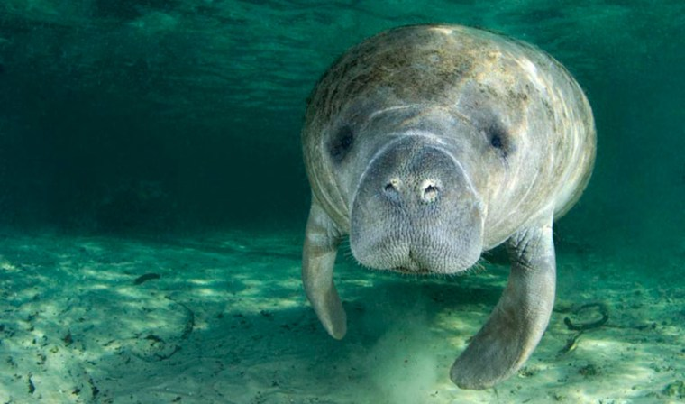 The manatees' only real predator is boats