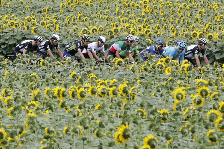 Image: Cyclists ride past a sunflower field during the 10th stage of the Tour de France