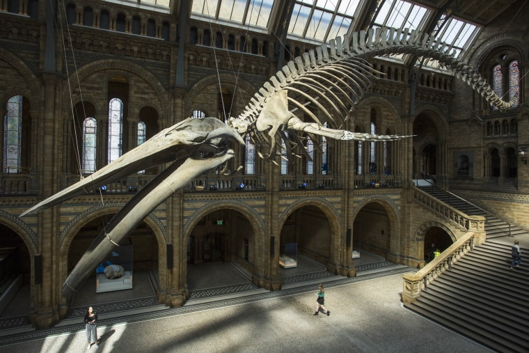 Image: A blue whale skeleton is displayed in the main exhibit at the Natural History Museum