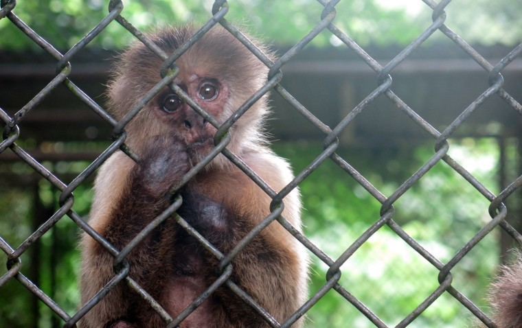 In this  July 7, 2017 photo, a monkey stares out from its enclosure at the Dr. Juan A. Rivero Zoo in Mayaguez, Puerto Rico.