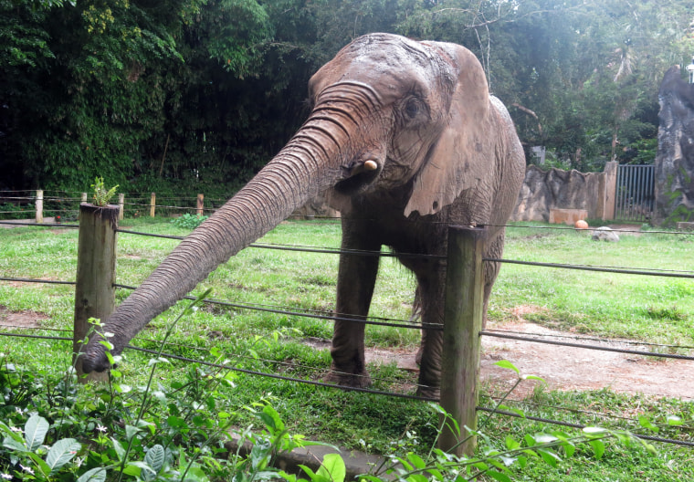 """In this  July 7, 2017 photo, """"Mundi,"""" the only elephant at the Dr.  Juan A. Rivero Zoo, reaches out to eat shrubs in Mayaguez, Puerto Rico."""
