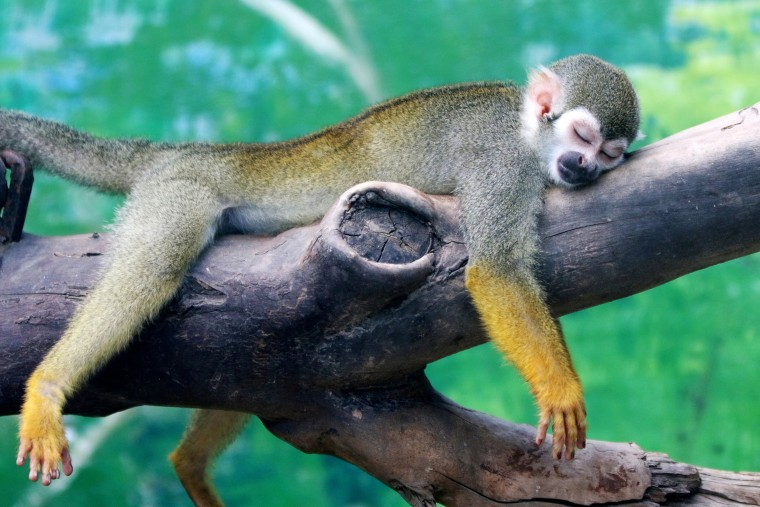 Image: A squirrel monkey rests on a tree branch on a hot day at a zoo in Zhengzhou