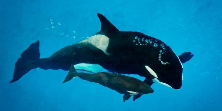 Takara helps guide young orca Kyara at SeaWorld San Antonio. Kyara was the final killer whale born under SeaWorld's former orca-breeding program.
