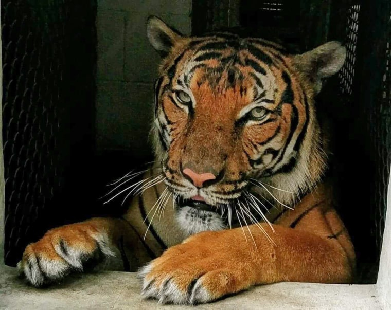 Hati, a Malayan tiger