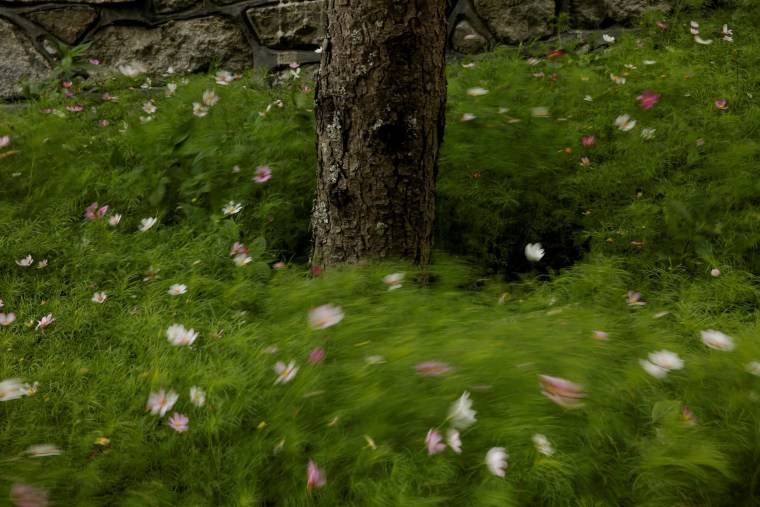 Image: Flowers sway in the wind at the foot of a tree in a Tibetan village in Jiuzhaigou county