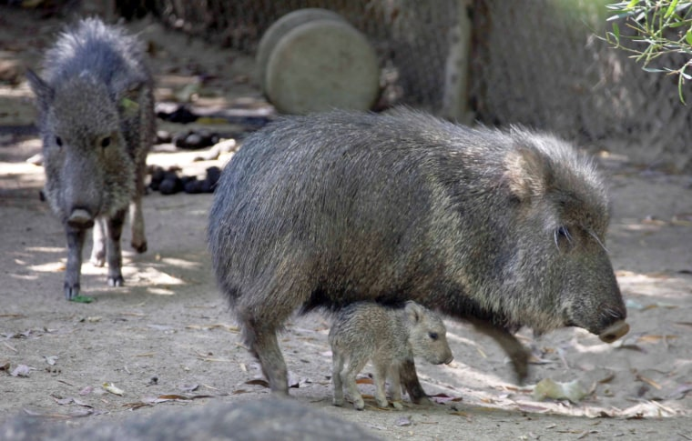 Peccaries at the Los Angeles Zoo.