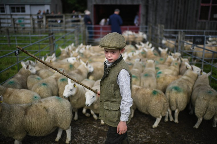 Image: Tens Of Thousands Of Lambs Are Sold On A Hillside Near Lairg In Scotland