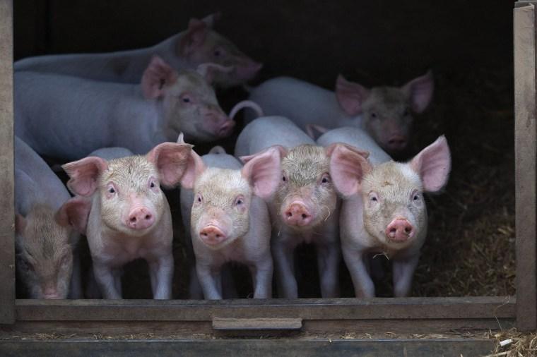 Image: Pig Farm