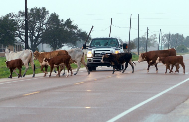 Image: A Herd of Cows Which Escaped from Fencing Damaged by Hurricane Harvey Block a Highway Near Port Lavaca