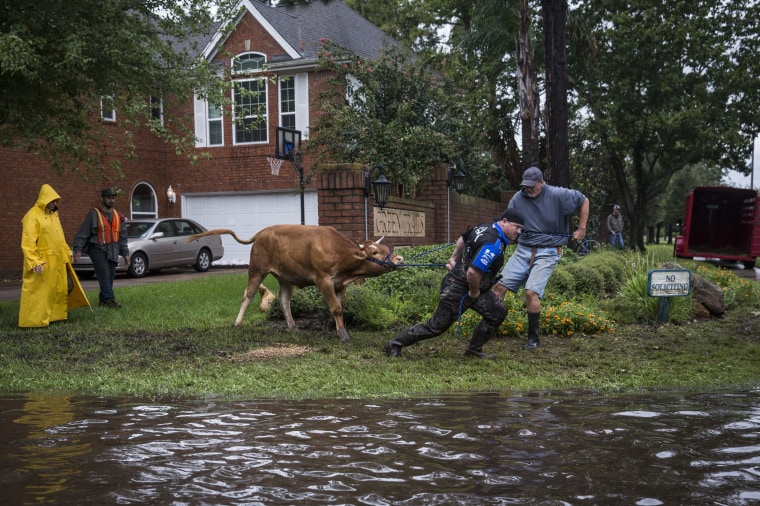 Image: Search and rescue crews wrestle a stray steer to try and put it in a trailer in a flooded neighborhood after the Addicks Reservoir, in Houston.