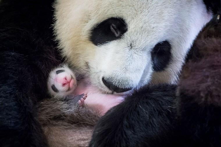Image: Huan Huan holds her surviving panda cub inside her enclosure
