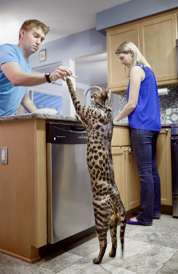 Arcturus - Tallest Cat