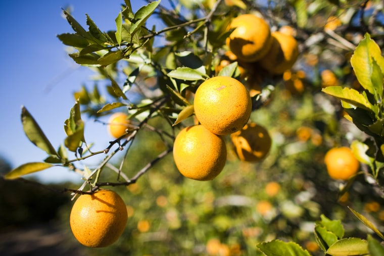 Florida Citrus Crops Endangered By U.S. Cold Snap