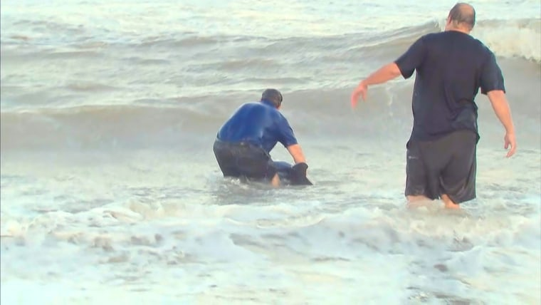 Kerry Sanders works to rescue a baby dolphin on the beach in Marco Island, Florida.