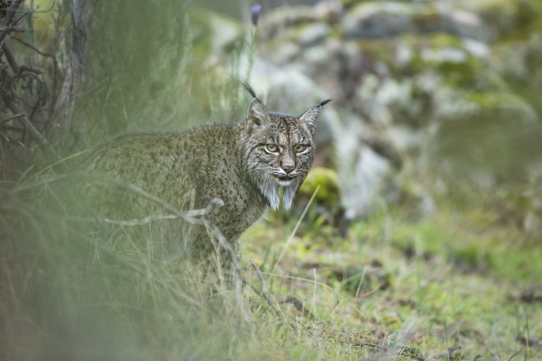 Image: Glimpse of a Lynx