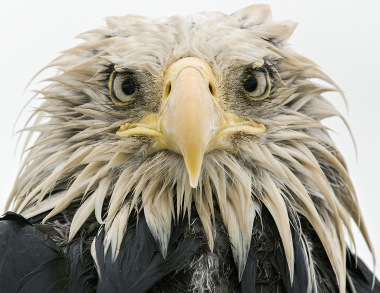 Image: Bold Eagle