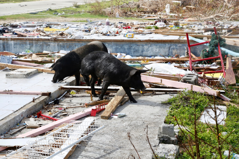 Image: Pigs scrounge through the remnants of a grocery store and clothing store one week after Hurricane Irma wiped out Barbuda's infrastructure.