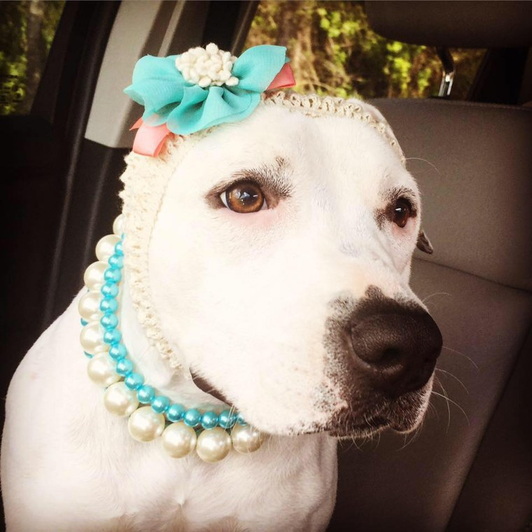 Abigail the pit bull  with headbands