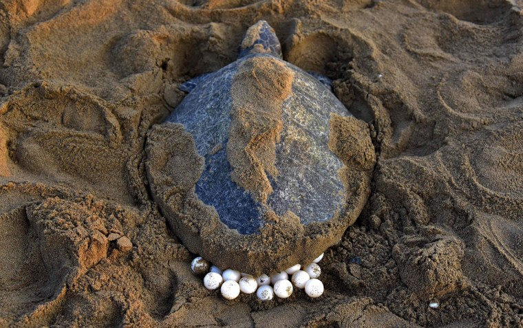 Image: An Olive Ridley Turtle lays her eggs in the sand at Rushikulya Beach
