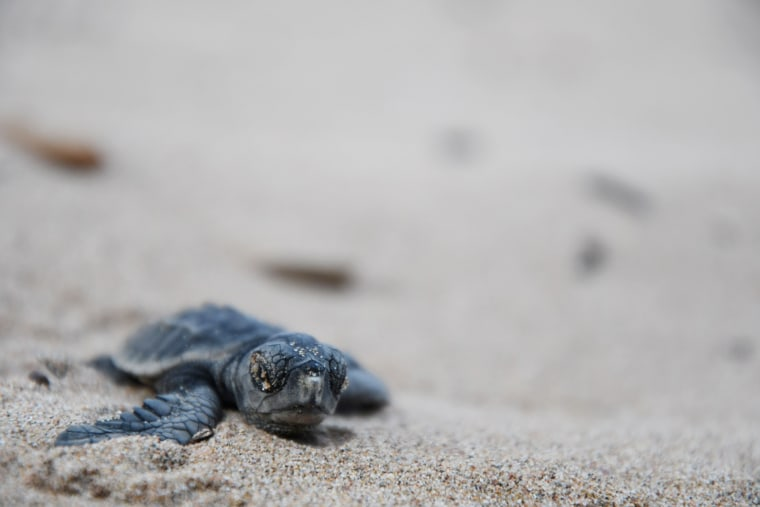 Image: A baby sea turtle heads to the sea