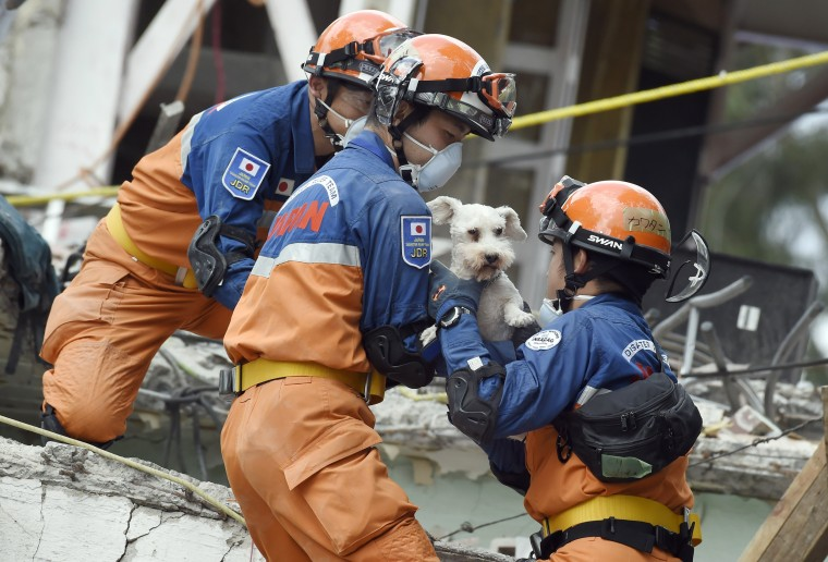 Image: A schnauzer dog who survived the quake is pulled out of the rubble