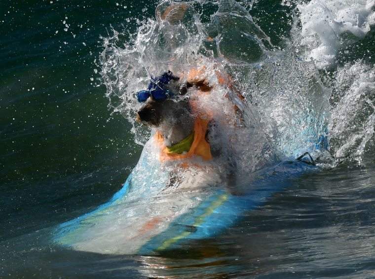 Image: Surfer dog Derby wipes out in his heat during the annual Surf City Surf Dog event at Huntington Beach