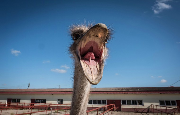 Image: An ostrich reacts inside an enclosure at a farm near the town of Chekhov, Russia