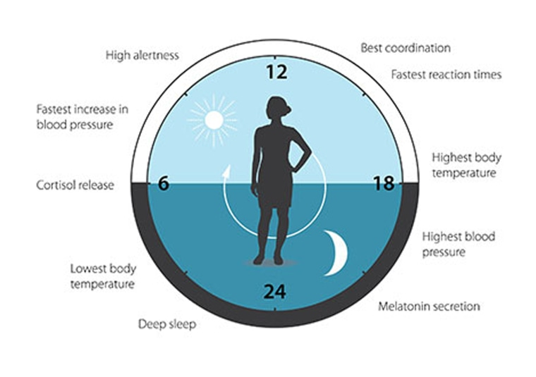 The circadian helps to regulate sleep patterns, feeding behavior, hormone release, blood pressure and body temperature. A large proportion of our genes are regulated by the clock.