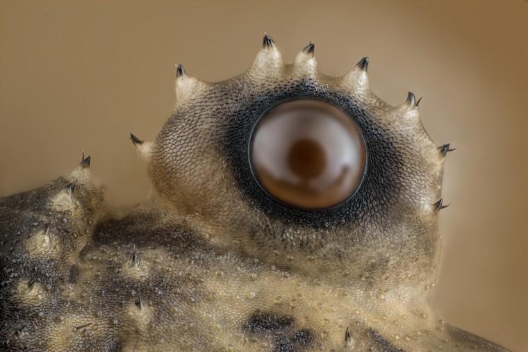 Charles Krebs Photography  Issaquah, Washington, USA  Opiliones (daddy longlegs) eye