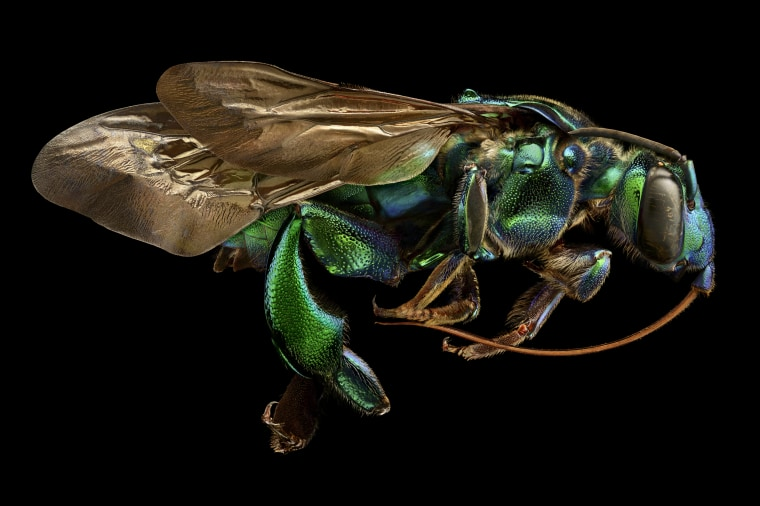 Levon Biss Photography Ltd Ramsbury, United Kingdom  Exaerete frontalis (orchid cuckoo bee) from the collections of the Oxford University Museum of Natural History