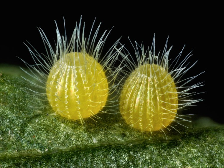 David Millard Austin, Texas, USA Common Mestra butterfly (Mestra amymone) eggs, laid on a leaf of Tragia sp. (Noseburn plant)  Incident Illumination, Image Stacking  7.5x (objective lens magnification)
