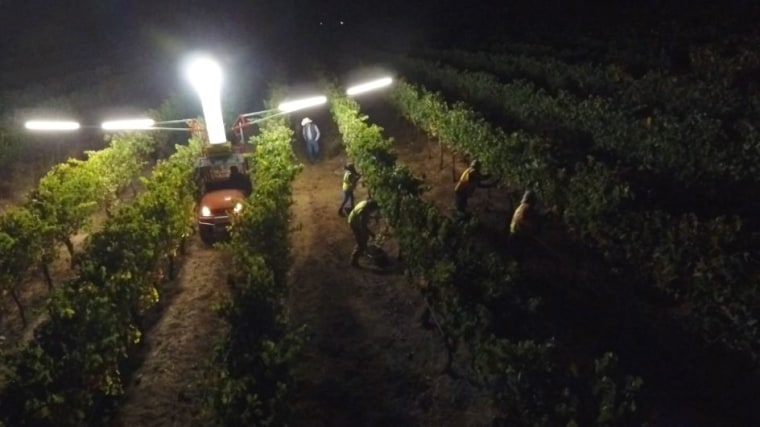 Lee Hudson's vineyard crew picks rows of Merlot grapes in the pre-dawn hours to ensure the grapes stay cool.