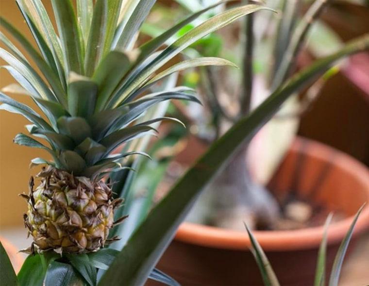Summer Oakes, pineapple