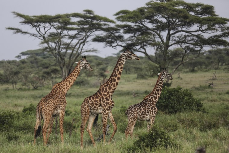 Image: Giraffes walk through Tanzania's Serengeti National Park