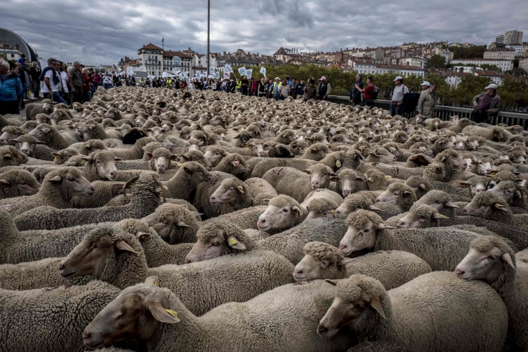 Image: French breeders demonstrate with their animals in Lyon