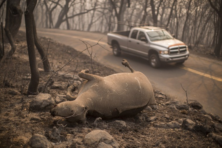 Image: The body of a cow that died in the Atlas Fire lays along the side of a road in Soda Canyon